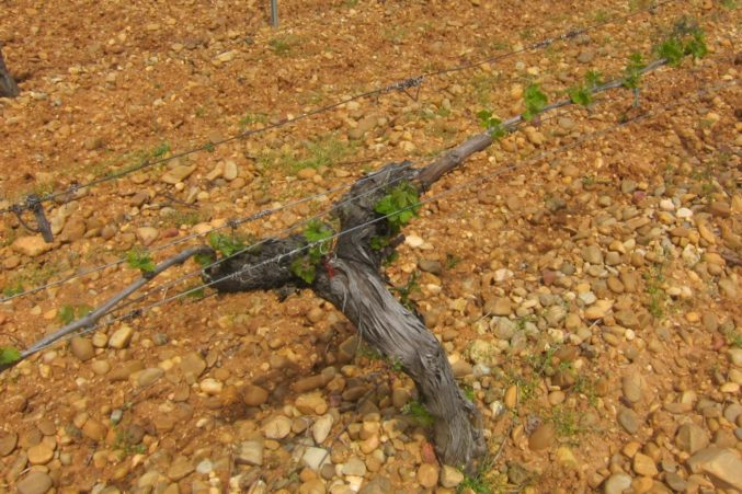 Verdejo vine in rock, clay and limestone soils at Bodega Belondrade