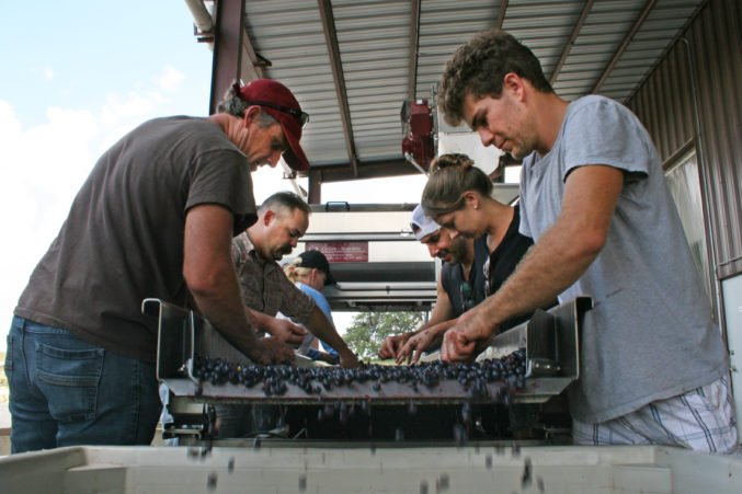 Pedernales team sorting fruit during harvest; photo courtesy of the winery