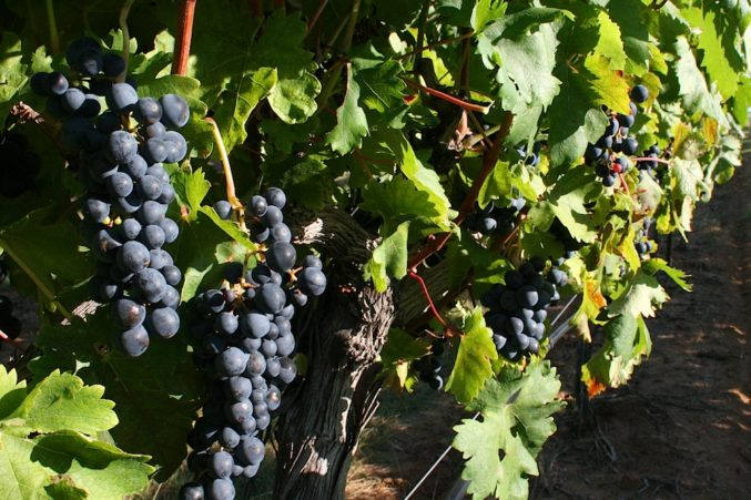 2016 Pedernales Tempranillo from Kuhlken Vineyard; photo courtesy of Pedernales Cellars