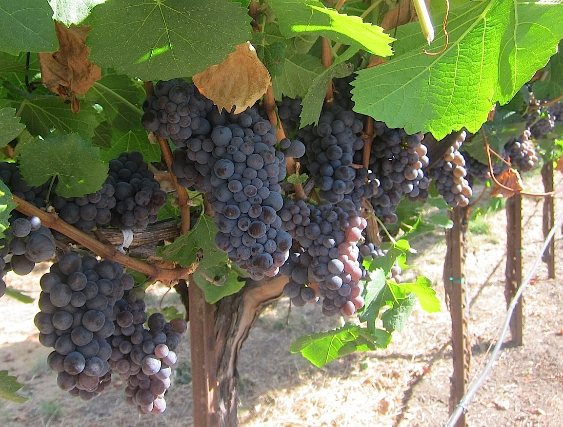 Pinot Noir vines At MacMurray Estate in Sonoma; all photos by Hayley Hamilton Cogill