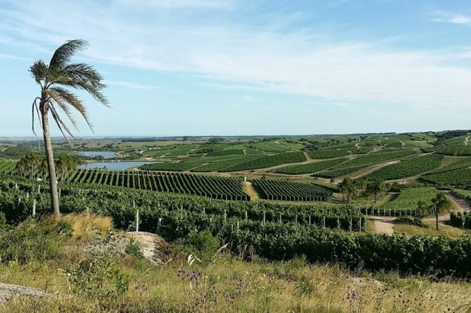 Vineyards of Bodega Garzon; all photos by Hayley Hamilton Cogill
