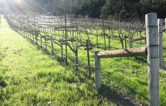 Lokoya vines on Mount Veeder; photo by Hayley Hamilton Cogill