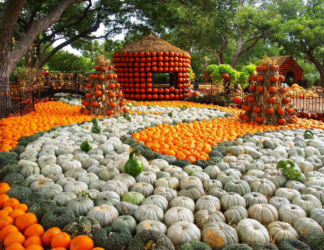 An Amateur S Guide To The Dallas Arboretum S Pumpkin Patch D