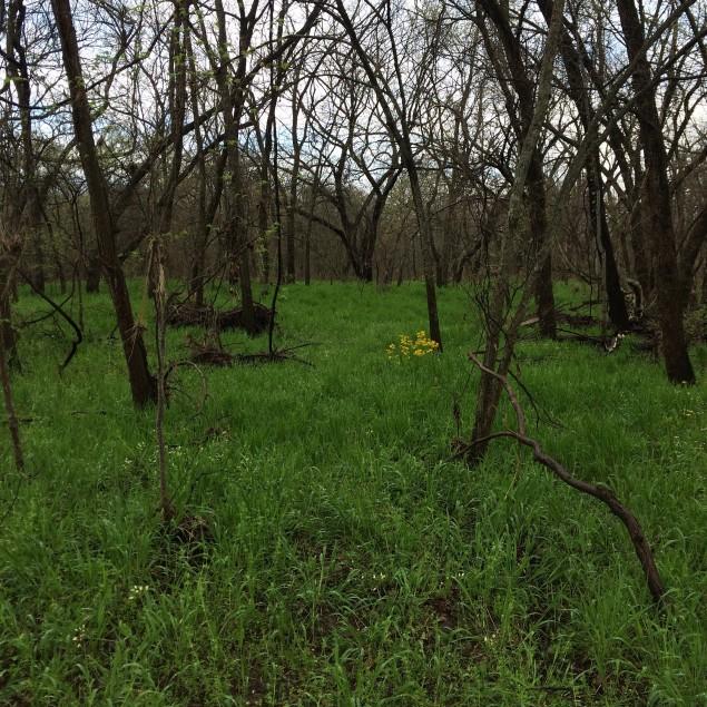 Virginia Wild Rye  in Garland's Spring Creek Forest