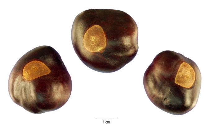 Buckeye nuts (Photo: Wikimedia Commons)