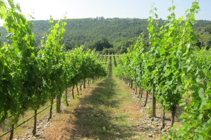 One of the Merlot vineyards protected by a natural forest to keep temperatures cooler than other parts of the estate
