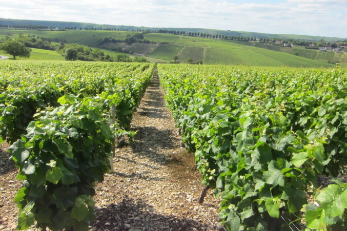 Sauvignon Blanc vines in Sancerre, France; photo by Hayley Hamilton Cogill