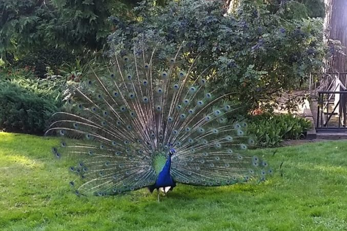 Chateau Ste. Michelle's Woodinville estate peacock welcomes guests to the Riesling Grand Tasting.