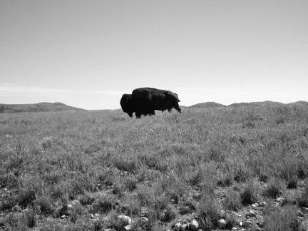 A buffalo bull roams the prairie in a protected sanctuary in Oklahoma, 2015 (Photo: Laray Polk).