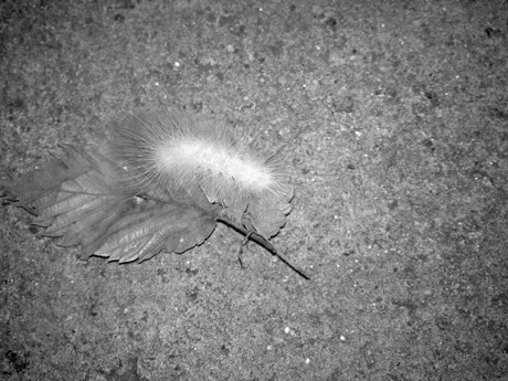 Butterflies and moths have fours stages: egg, larva, pupa, and adult. Caterpillars are the larval stage of the life cycle (Photo: Laray Polk).