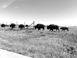 fenc_buffalo