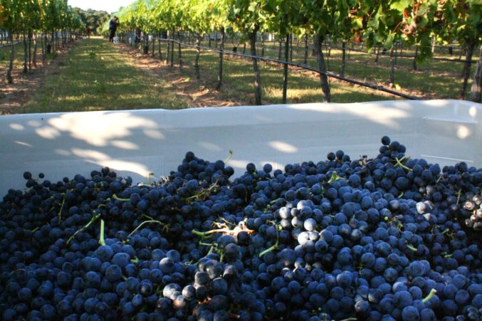 Just harvested Tempranillo fruit; photo courtesy of Pedernales Cellars