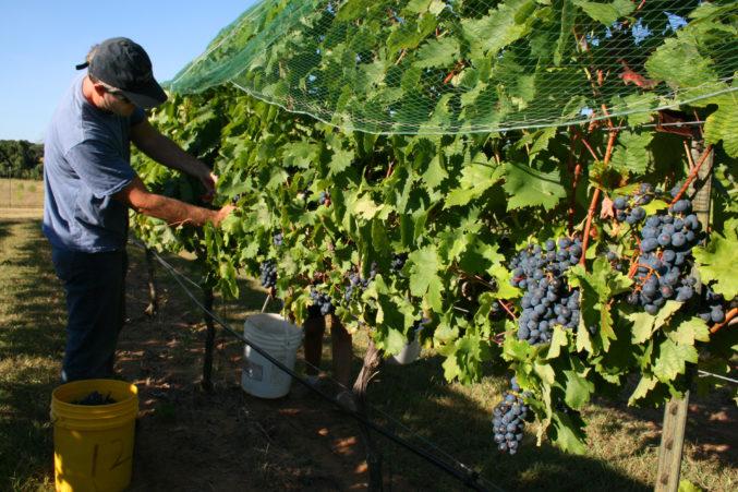 Temparnillo harvest at Pedernales Cellars; photo courtesy of Pedernales Cellars