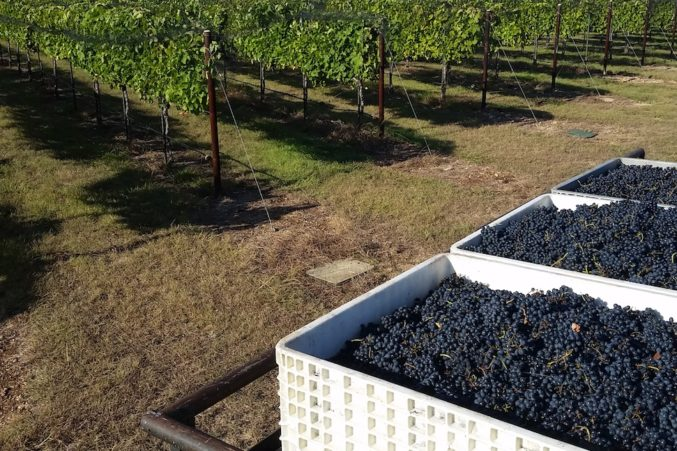 Harvest day at Fall Creek Vineyards; photo courtesy of the winery.