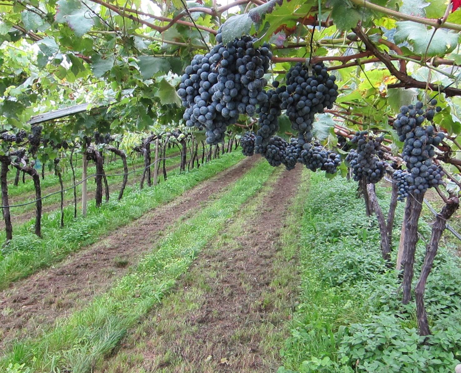 Schiava vines in Alto Adige, Italy; photo by Hayley Hamilton Cogill