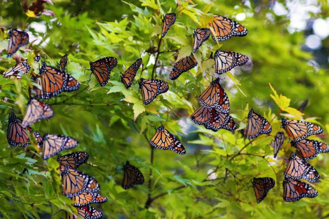 nn-butterfly-dallas-arboretum-botanical-garden-texas-discovery