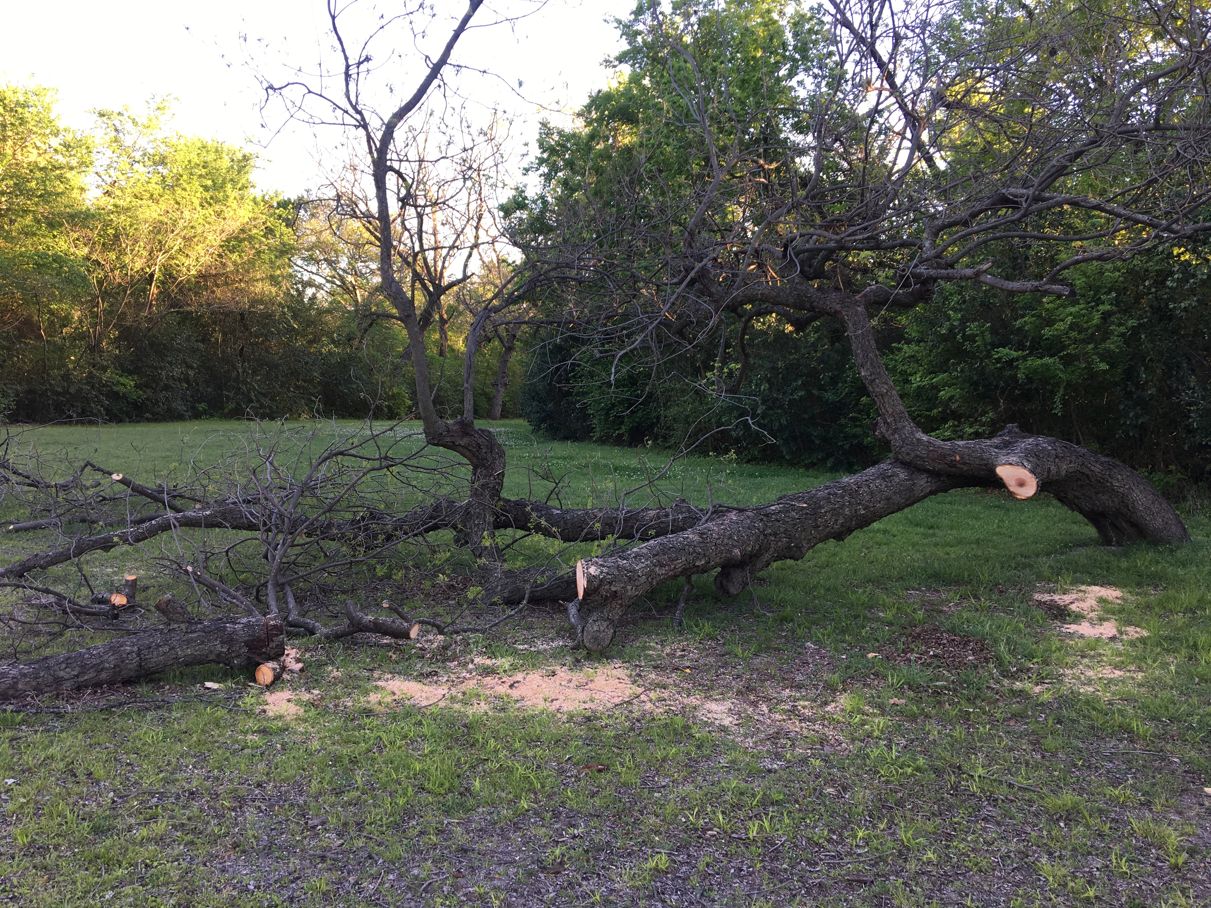 The old pecan tree, after the man cut it up