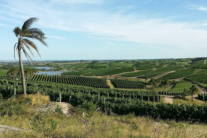 Vineyards of Bodega Garzon; all photos by Hayley Hamilton Cogill