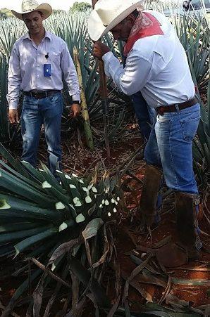 Harvesting ripe agave.