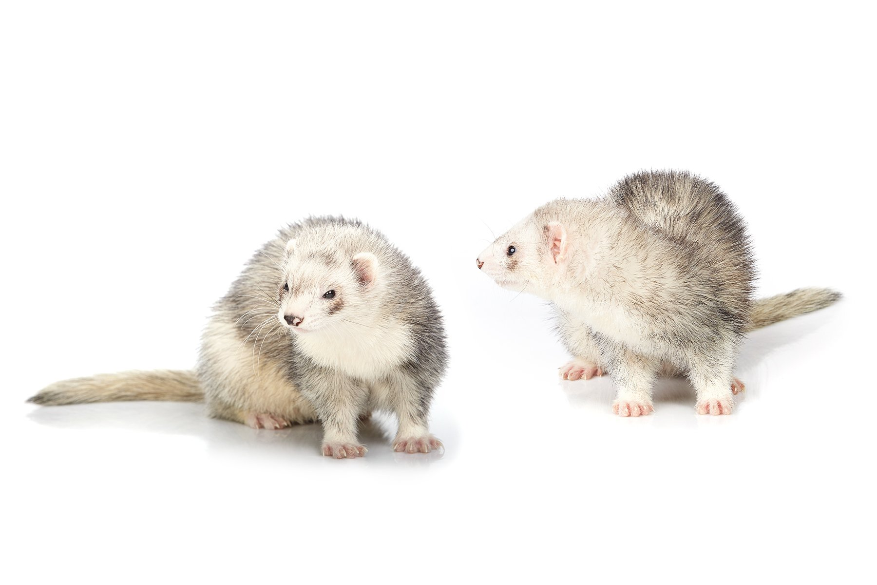 Two silver-mitt ferrets