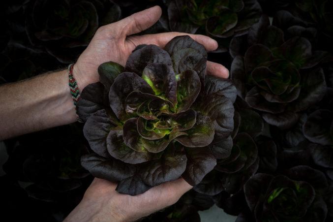 Profound Farms hydroponic lettuce