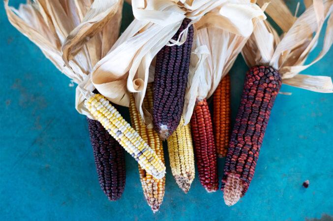Heirloom corn varietals used for fermentation
