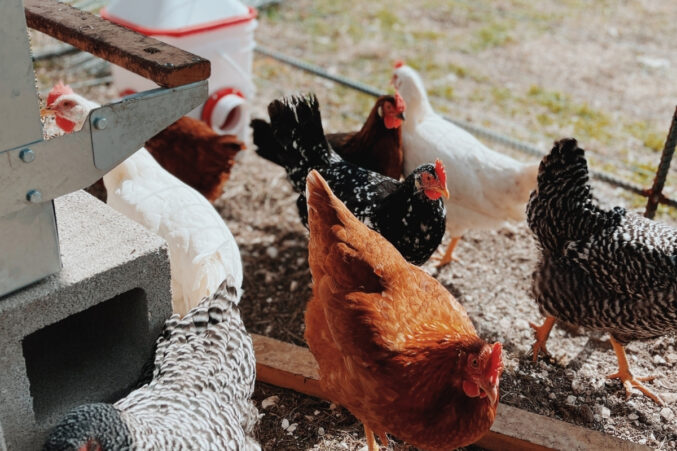 Egg-laying hens from Elmwood Farm strut in their chicken coop.