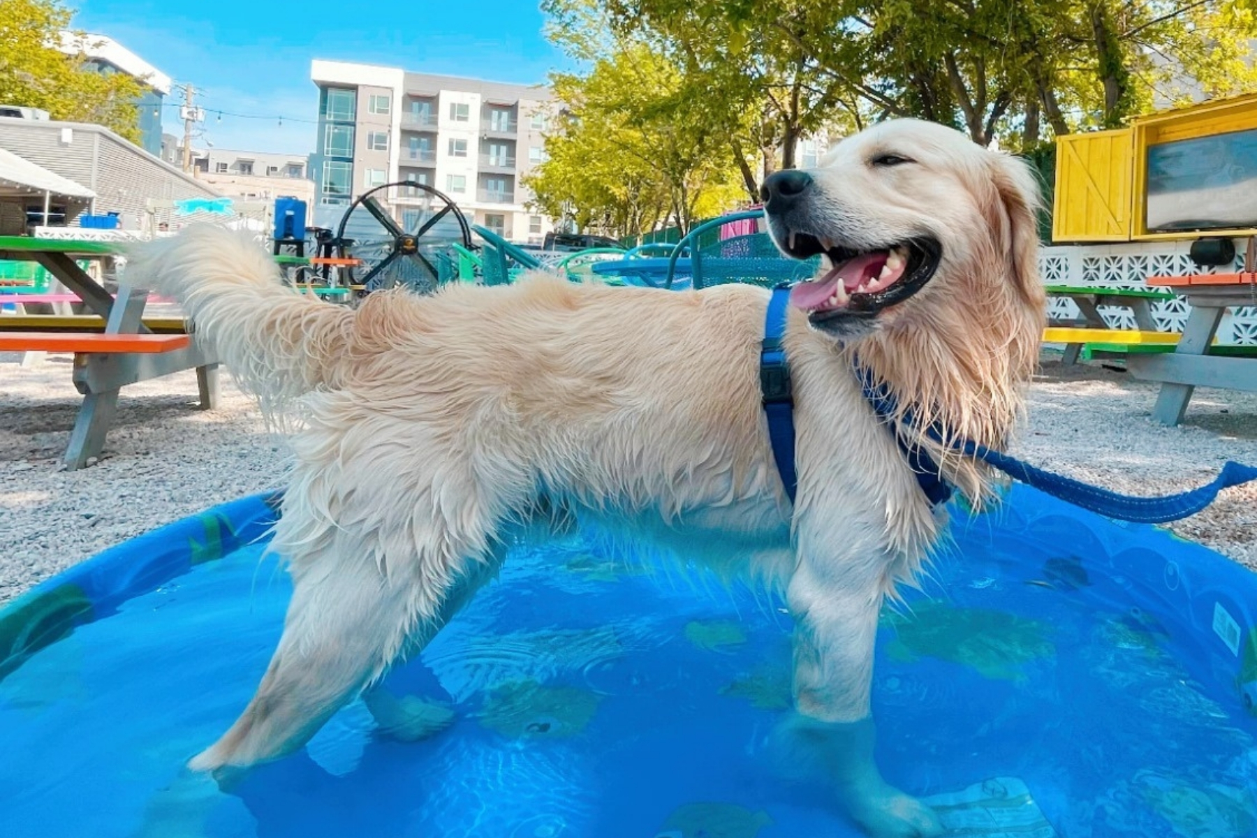Golden retriever in a mini pool outside at Toller Patio